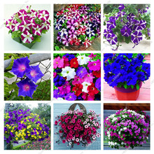 100pcs/bag Exotic Picotee Multi-color Morning Glory seeds Rare Petunia Seeds Bonsai Flower Seeds For Sale Home Garden Decoration