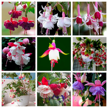 9 Kinds of Fuchsia Perennial Flower Seeds Can be Choose Potted Flowers DIY Planting Flowers Bell Flower Seeds - 100 PCS