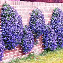 Marseed 50 Pcs/Bag Rare Flower Perennial Pants Seeds Fashion Blue Flower Bonsai Ground Cover Flower Pot For Home Garden MAS019