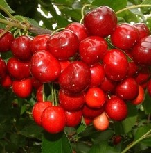 South potted cherry  seed potted cherry fruit seed 10 seeds