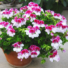 20 Pieces/ Bag Two-color Red White Univalve Geranium Seeds Perennial Flower Seeds Pelargonium Peltatum Seeds for Indoor Rooms