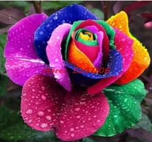 100 Rare Dutch seed rainbow pink bow rose exotic flower garden flower seeds Free Shipping