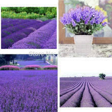 $1.11 get 200 lavender 11.11 promotion in advance ,today begain the promotion lavender seeds lowest price(China)