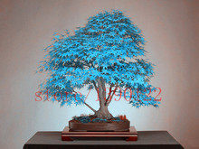 20 blue maple tree seeds rare  Canadamini bonsai  Purple Maple Bonsai Plants Trees for flower pot planters