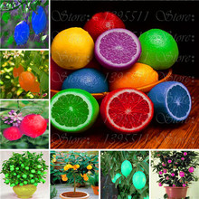 20 Pcs Rare Rainbow Lemon Seeds Organic Fruit Lemon Tree Seeds Home Garden Fruit Plant Colorful Bonsai Lemon Seeds Can Be Eaten