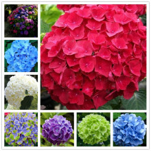 20 pcs/ Bag hydrangea seed,mixed seeds,China hydrangea flower seeds,bonsai seeds for home garden plants