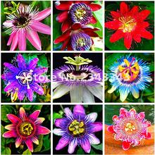 Granadilla 20pcs/bag Passiflora Seeds Passion Fruit (passion Flower) Bonsai Flower Seeds New Plants Fruit-tree-seeds For Garden(China)