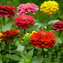 flowers  seeds One hundred days grass 30 Zinnia Seeds, indoor plants flowers new arrival DIY Home Garden flower plant C042