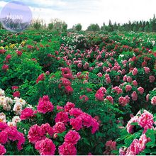 Heirloom 'Xuan li'  Dark Red, White, Yellow, Rose Red Mixed Peony Tree, 5 Seeds, amazing big blooming Clusters of Flowers E3966