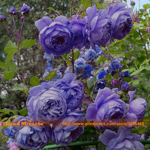 Rare Color, Heirloom Shurb Tree Peony Seeds, 10 Seeds/Pack, Blue Purple Red Pink Light blue Peony Flower DIY Home Garden
