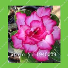 New 100% True Pink Petals Desert Rose Seeds Beautiful Bonsai Flowers Seeds Balcony Home Garden Adenium Obesum Hot Sale 1 Pcs