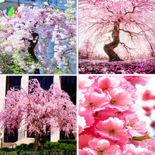 10 pink fountain weeping cherry tree,DIY Home Garden Dwarf Tree,everybody wants it,Free Shipping ornamental-plant