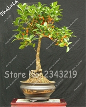 10PCS Bonsai Osmanthus Fragrans Seeds, Perennial Flower Plant Tree Shrub Seeds 19 Color for Home Garden Natural Herbal Medicine