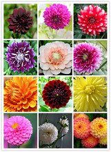 50pcs/bag dahlia flower dahlia seeds,(not dahlia bulbs)bonsai flower seeds gorgeous flower Balcony potted plant for home garden
