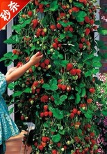 600 pcs Climbing strawberry seeds + rose seeds for gifts, Bonsai, flower potted plants, free shipping, DIY Home and Garden.