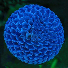 Hot Sale Unique Blue Fireball Dahlia Seeds Beautiful Flower Seeds Perennial Plant Dahlia Seeds - 100 PCS
