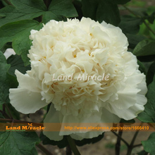 Double White Peony Flower Seeds, 5 Seeds, Bonsai perennial shrubs tree peony for courtyard plant seed-Land Miracle