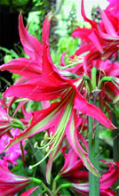 Red Amaryllis Bulbs , Cheap lily potted seed, Very Easy Grow Home Bonsai balcony flower - 1 pcs/bag