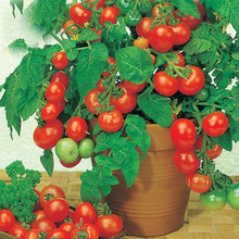 Bonsai Tomato seeds Mini Cherry Potted Sweet Fruit Vegetable Organic Fresh Tomato Tree seeds 120 pcs/pack