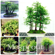 "Bonsai seeds 30 pcs Japanese Red Cedar (Cryptomeria japonica) ""Sugi"" Tree Seeds Evergreen Bonsai Home gardening, free shipping(China)"