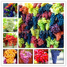 50pcs/bag Very Rare finger grape seeds Organic Heirloom fruit seeds,Natural growth grapes,bonsai pot plants for home garden(China)