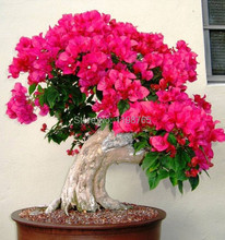 Free Shipping 100% Original High Quality 50pcs Mix-color Bougainvillea spectabilis Willd Seeds bonsai plant flower seeds(China)