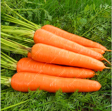 200pcs/bag carrot seeds Organic Heirloom seeds vegetables fruit Five inches ginseng carrot seeds potted plant for home garden(China)