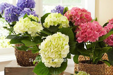 AAA 2015 Bonsai hydrangea Seeds 100pcs 10kinds mix Flower Seeds Novel Plant for Garden Free Shipping