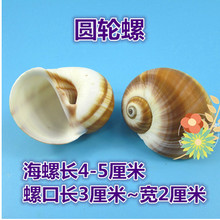 07 Decoration Crafts Natural conch shells hermit crab shell fish roll shell special aquarium decorations.4CM