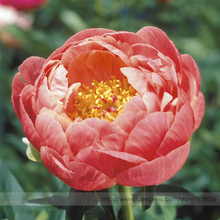 Rare Breathtaking Semidouble Coral Charm Peony Tree Flower Seeds, Professional Pack, 5 Seeds / Pack, Hardy Garden Plants #NF794
