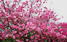 30 pcs/pack Pink Cherry Blossoms tree seed flower Seeds bonsai flower pots planters DIY for home and garden