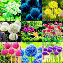 100 Purple Giant Allium Giganteum Beautiful Flower Seeds Garden Plant the budding rate 95% rare flower for kid Home Garden plant(China)