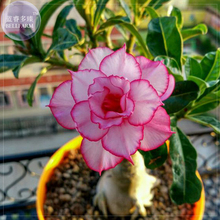 Thai 'embroidery' Adenium Desert Rose Seeds, professional pack, 2 Seeds, 5-layer orderly pink petals with red edge TS341T(China)