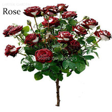 New Rare Red White Rose Flower Tree, 50 Seeds, new fragrant bonsai garden plants light up your garden E3658(China)