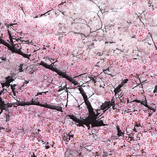 BELLFARM Japanese Pink Cherry Blossom Sakura Tree, 20 seeds, Oriental Sweet Prunus Flower Seeds E3752