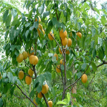 Apricot tree apricot seed small seed tender mouthwatering varieties planted 3 seeds / pack