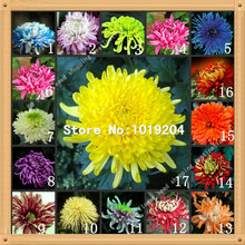 100 PC colorful chrysanthemum seeds,colorful flower seeds, beautiful potted plant seeds(China)