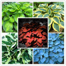 200pcs/bag Hosta plants,Hosta 'Whirl Wind' in full shade,mixed color flower,flower seeds,grass seeds,Ornamental Plants for home