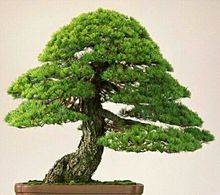 pine seeds Hot sale very easy grow beautiful Yaccatree Tree Seed bansai Podocarpus tree seeds FREE SHIPPING(China)
