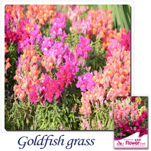 Buy 2 Get 1!(Can accumulate ) 1 Pack 60 Seed Pink Yellow Red Mix Antirrhinum / snapdragon Colour Seeds A069(China)