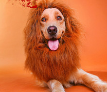 Pet accessories  big dog wigs golden retriever head Take photos with selling of The lion king wig