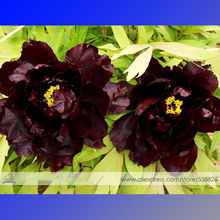 Black Coffee Chinese Peony Flower Seeds, 1 Professional Pack, 5 Seeds / Pack, Rare 'NV WU' Tree Peony #NF559
