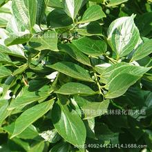 Leaflets Hackberry Seed Yellow Fruit Bomb Park Elm Tree Tsai Real Photo 0.2kg/lot Tree Seeds