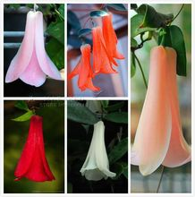free ship 40 seeds Chilean Bellflower (Lapageria rosea) Seeds ,evergreen, lasting , part shade ,Beautiful,