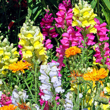 Free Shipping Authentic Snapdragon seeds rare color new arrival DIY Home Garden flower plant 50g / Bag(China)