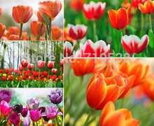 tulip petals tulip seeds potted indoor and outdoor potted plants purify the air 2 seeds(China)