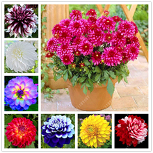 20pcs/bag potted dahlia flower Gorgeous dahlia seeds various kinds bonsai flower seeds also called Chinese peony garden plant