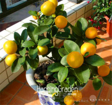 Promotion!10 Seed /Lot ,Lemon seeds, potted balcony, planting seasons, sprouting 95%(Kaffir Lime),#3FIABX(China)
