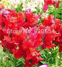 Hot selling 1 pack Sweetheart snapdragon flower bonsai seeds new arrival 60 a181 bonsai seeds DIY home garden free shipping
