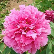 100 Seeds China's Beautiful Pink Peony Flower Seeds Hot Peony P5-100